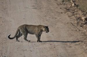 Lone male leopard
