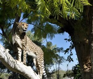 cheetah2a