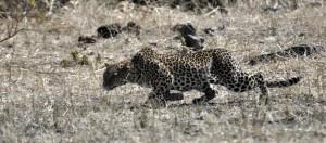 Leopard stalking an impala