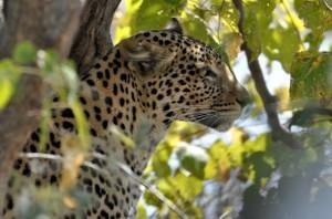 chobe leopard 2