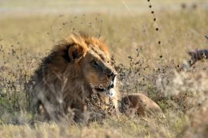 moremi lion 4a